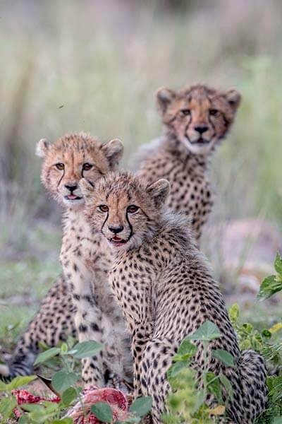 Tours-for-South-Africa-cheetah-cubs