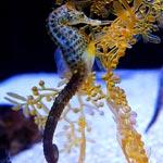 TFSA-Location-Seahorse-Aquarium-150x150